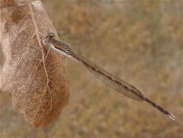 damsel on oak leaf by CarolG
