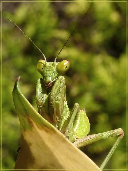 mini mantis by CarolG