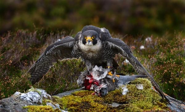 Peregrine Falcon (Falco Peregrinus) by HP1485