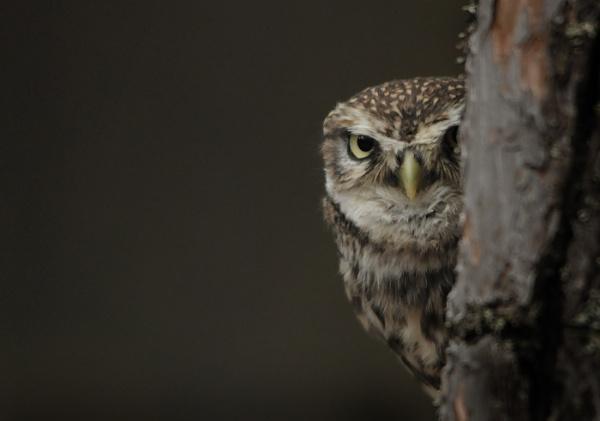 Little Owl (Athene Noctua) by HP1485