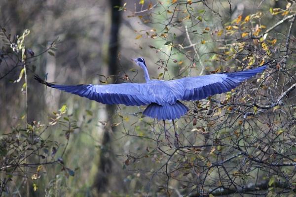 Blue Heron by Gearoidmuar