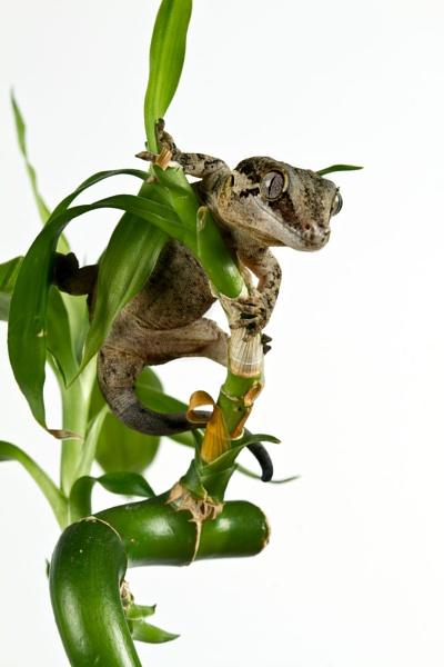 A Gargoyle Gecko by Geofferz