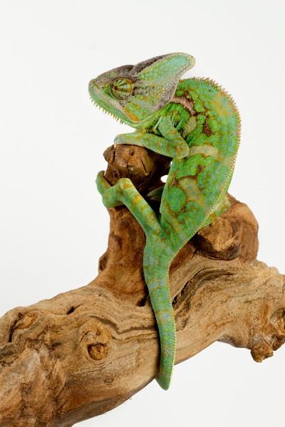 Yemens chameleon by Geofferz