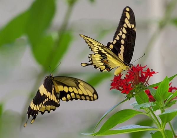 Tiger Swallowtail Butteflies by jbsaladino