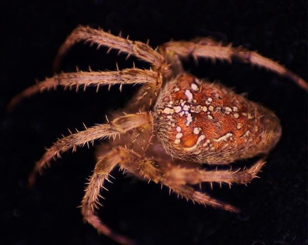 Garden Orb weaver spider by tamasalucy