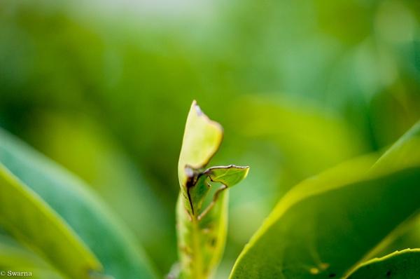 Macro Shot - Green Leaf by Swarnadip