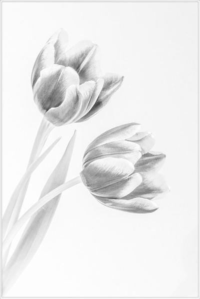 Tulip Study III by DalesLass