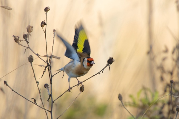 Goldfinch by DKM