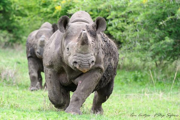 Charging Balck rhino by TomCoetzee