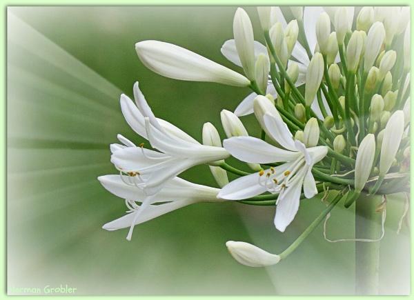 White Light by Hermanus