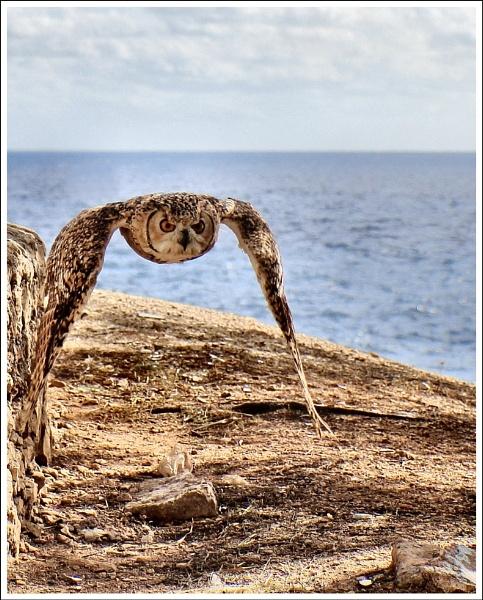 Flying Owl by alistairfarrugia
