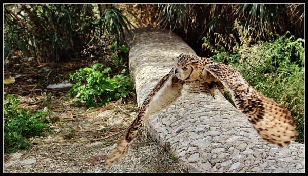 Flying Owl 2 by alistairfarrugia