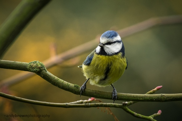 I know it\'s another Blue Tit by ABPhotosUK