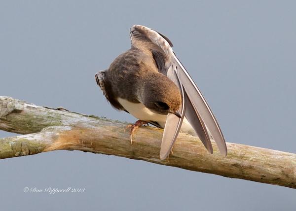 Preening by BirdmanDon