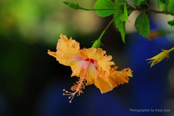 Flower... by baijunj