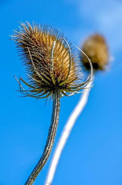 Seed head by GraemeR
