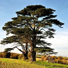 Magnificent cedars