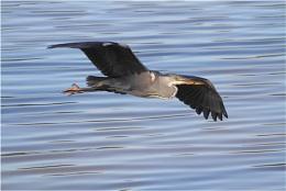 Gliding Heron