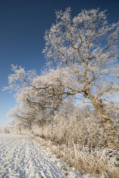 Iced Hedgerow