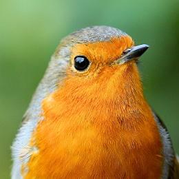 last robin