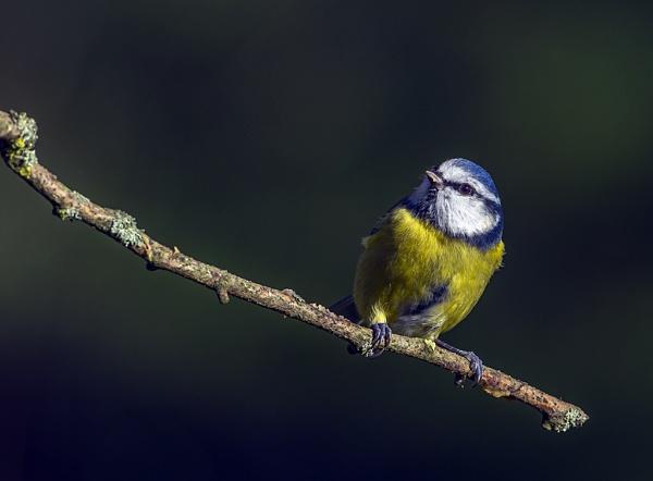 Blue Tit by Tom-Melton