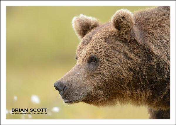 Bear by Brian_Scott
