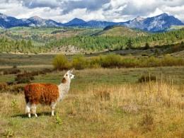 Llama ranch in Southern Colorado, USA