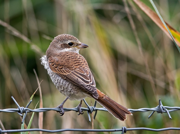 Red Backed Shrike by Maccas
