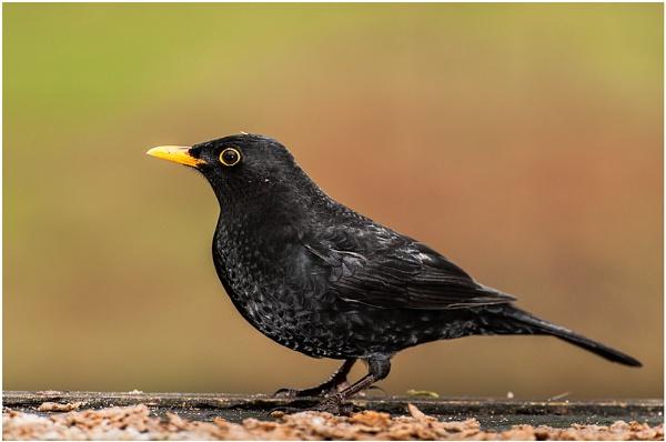 Male Blackbird by achieverswales