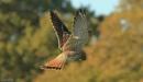 hunting kestrel by hotwings