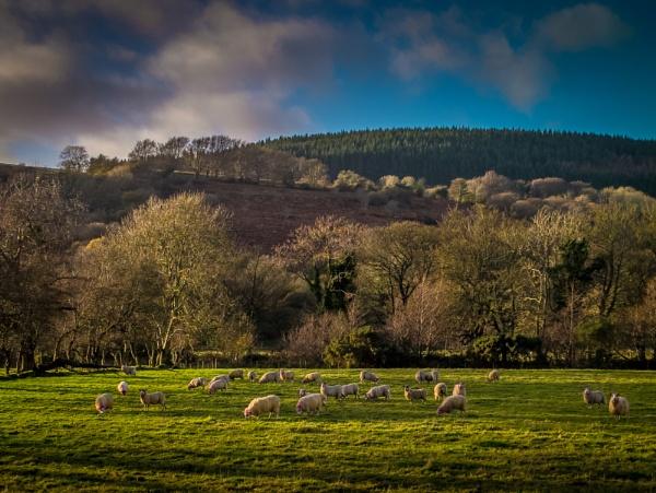 Glenshesk Sheep