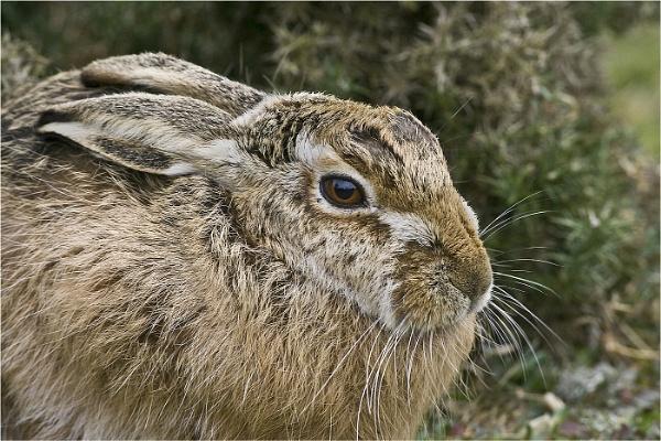 Hare by rogerdoger