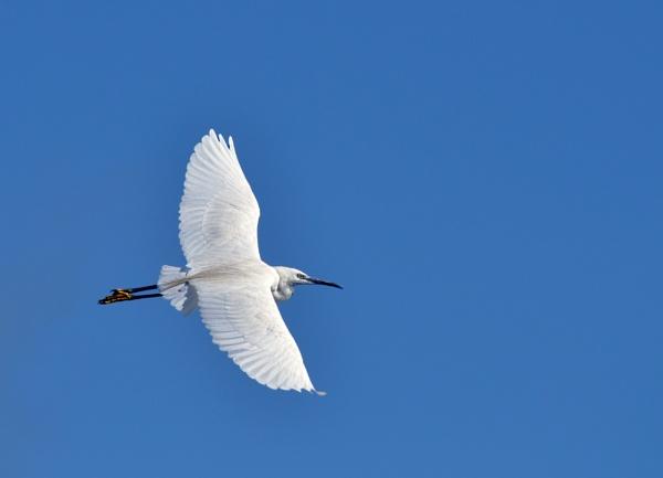 Egret by heron