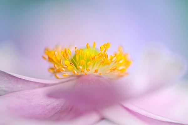 Autumn Windflower by jackyp