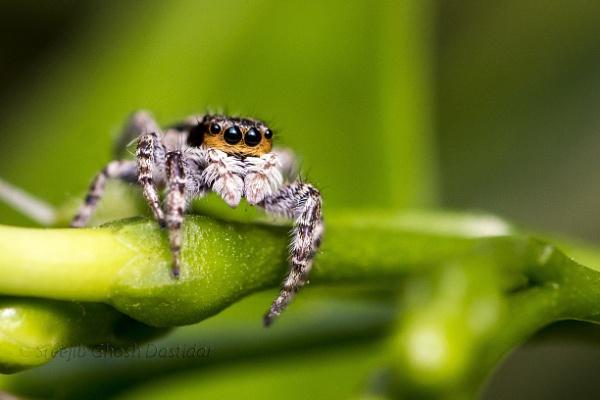 Jumping Spider by sreejib77