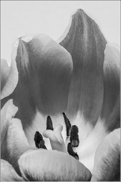 Tulip Study V