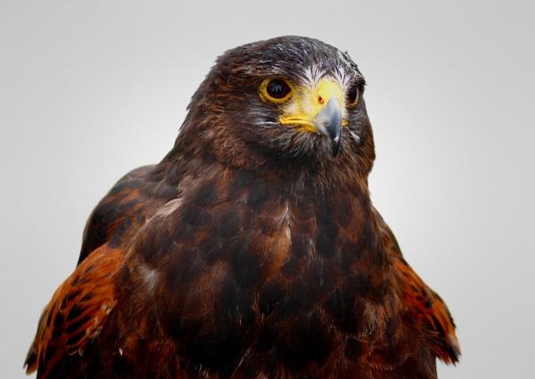 bird of pray by christinecilia