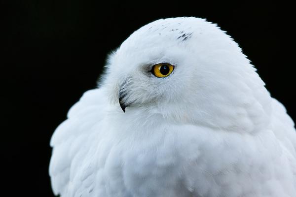 snowy owl by bzbee