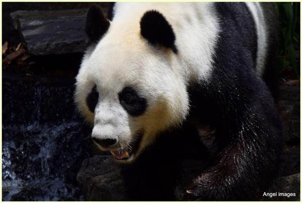 Funi the panda by ColleenA