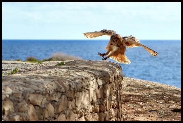 Flying Owl 3 by alistairfarrugia