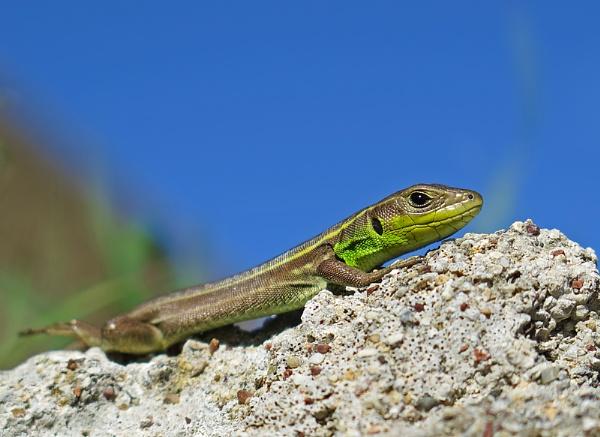 Balkan Green Lizard by mattberry