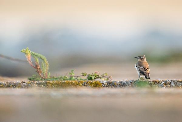 Wheatear (Oenanthe oenanthe) by robinleess