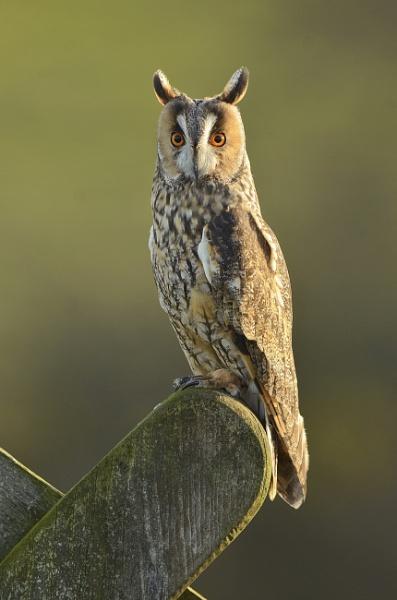 Long Eared Owl by KBan