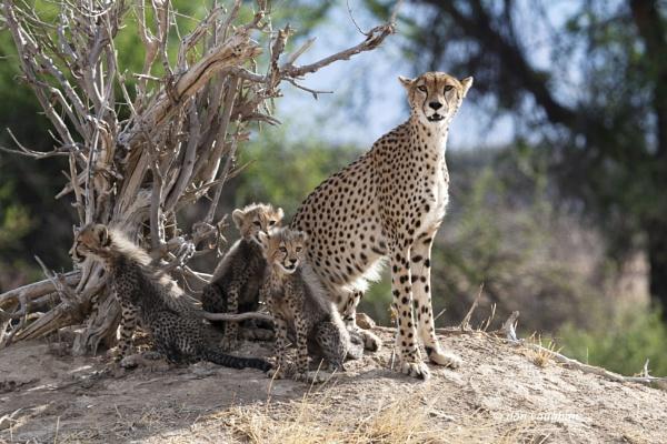 female cheetah & 3 cub.s Ruaha by donv