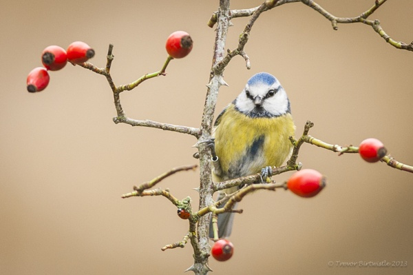 Blue Tit And Friend by Trev_B