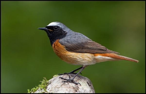 Common Redstart by Tom-Melton
