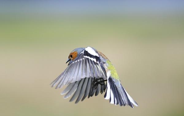 Chaffy in flight by WalidD300