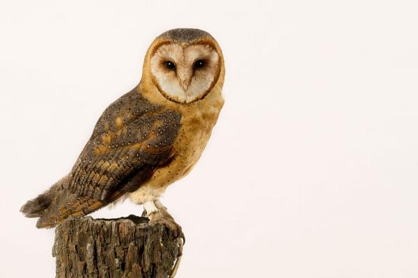 Brown faced barn owl by Geofferz