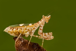 Indian flower mantis (Creobroter pictipennis)
