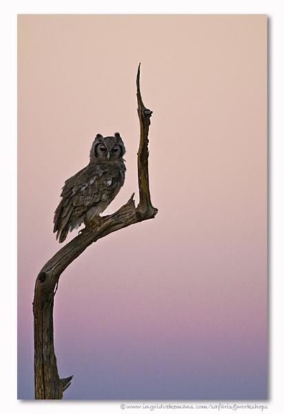 Owl Sunset by IngridVekemans